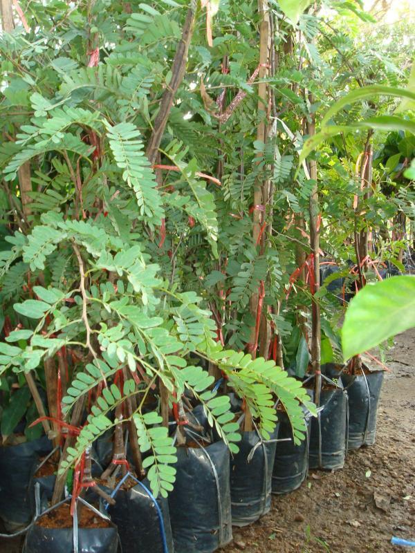 ต้นมะขามเปรี้ยวยักษ์(บริการส่งทางไปรษณีย