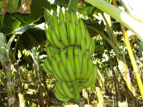 หน่อกล้วยหอมทองใต้หวัน