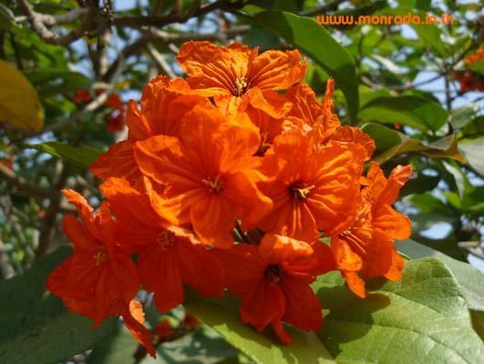 คอร์เดีย สีส้มเข้ม