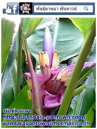 กล้วยบัวสีม่วง