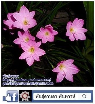 บัวดินสีชมพู
