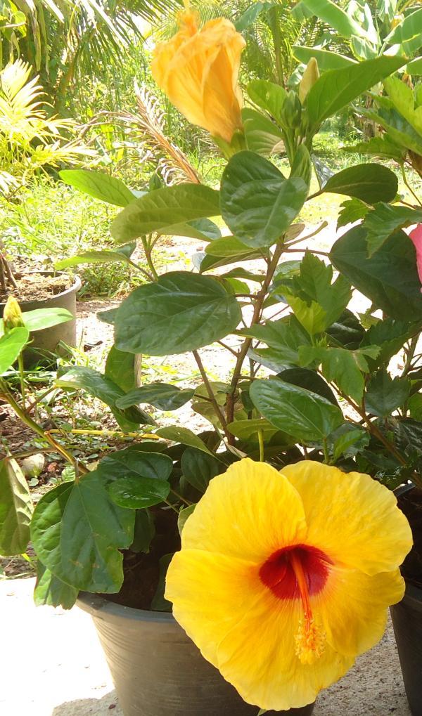 ชบาดอกสีเหลือง/ชบาฮาวาย
