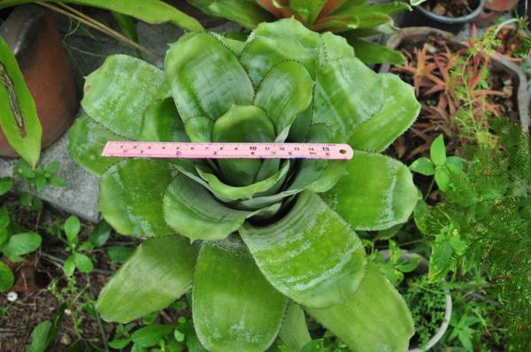 สับปะรดสี Ae.fasciata