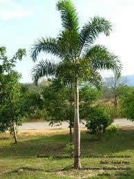 ต้นฟอกเทล (ปาล์มหางกระรอก)