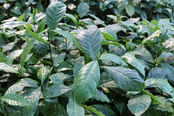ต้นกล้ากาแฟอราบิก้าและโรบัสต้า