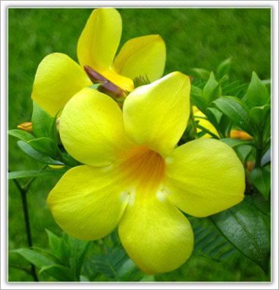 บานบุรีแคระ,จำหน่าย บานบุรีแคระ และไม้ดอกไม้ประดับไม้ผลทุกชนิด,บานบุรี