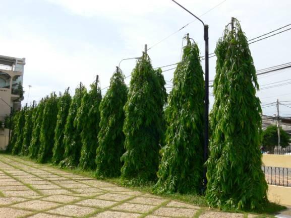ต้นอโศกอินเดีย