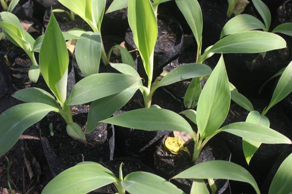 กล้วยน้ำว้าปากช่อง50 (สินค้าหมด),ขายพันธุ์กล้วยน้ำว้าปากช่อง50 เพาะเลี้ยงเนื้อเยื่อ,ต้นกล้วย