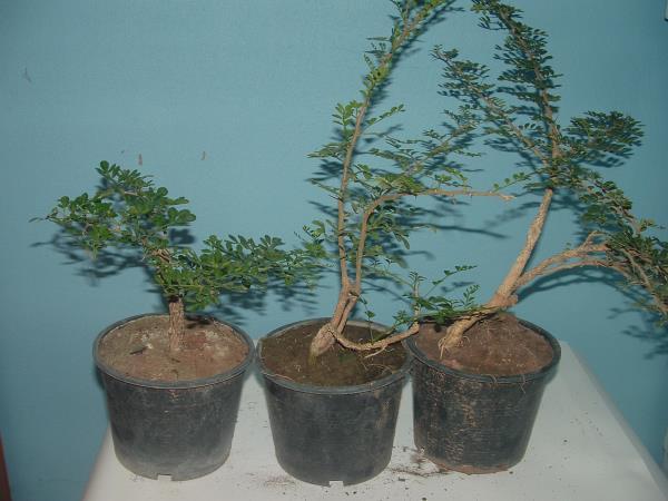 ต้นกะสัง(มะสัง),กะสังบอนไซ,มะขวิด