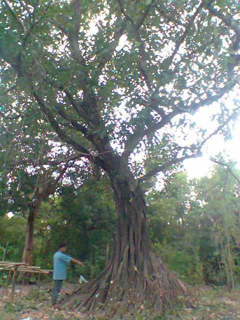 ต้นไทรใบขนุน ปลูกโชว์โคน ฐานใหญ่สวยงาม,ไม้โชว์ฐาน,ไทร