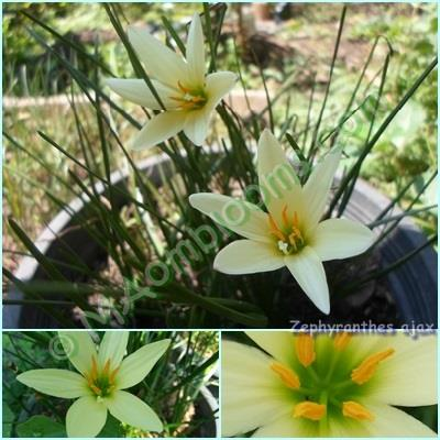 Zephyranthes Ajax