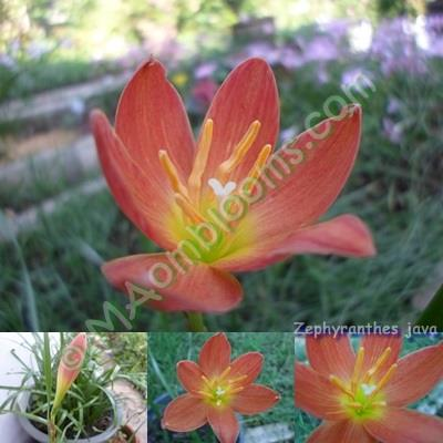 Zephyranthes java