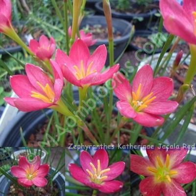 Zephyranthes Katherinae Jacala Red