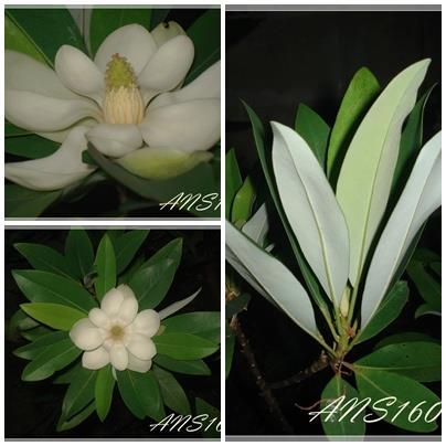 Magnolia virginiana var.australis