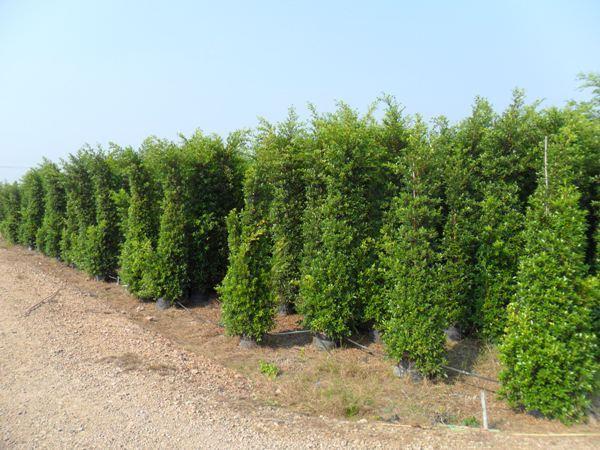 ไทรอินโด ฟอร์มสวยจากสวน,ต้นไทรอินโด.ขายไทรอินโด,ขายต้นไทรอินโด,ไทรอินโดราคาส่ง,ไทรอินโดราคาถูก,ไทรอินโดต้นสวย,ไทรอินโด