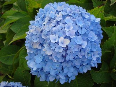Hydrengea-Bluebird