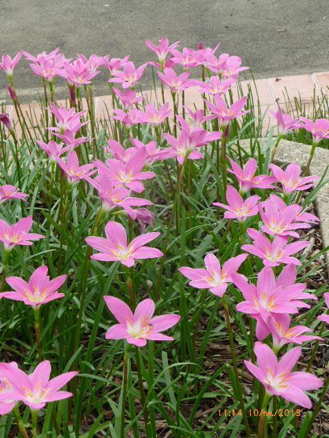บัวดินดอกใหญ่สีชมพูเข้ม