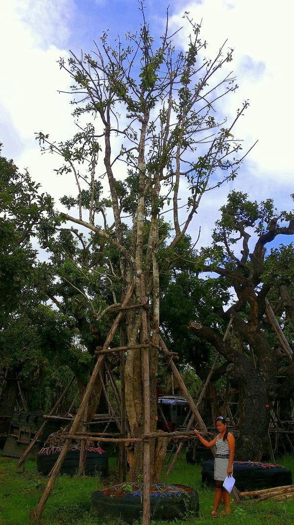 ต้นสารภี no.021 ,ไม้ใหญ่ ไม้ประดับ ไม้มงคล ไม้ทรงพุ่ม ไม้ฟอร์มสวย ไม้แปลก,สารภี