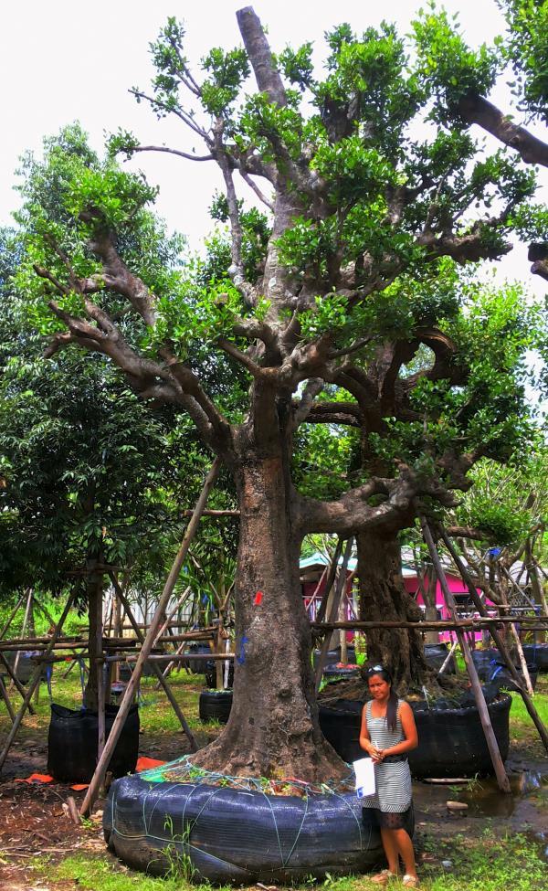 ต้นมั่งมี no.149