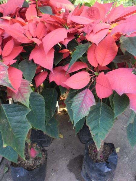 ต้นคริสต์มาสใบแดง
