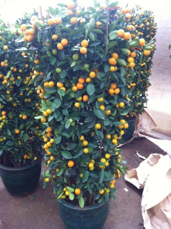 ต้นส้ม
