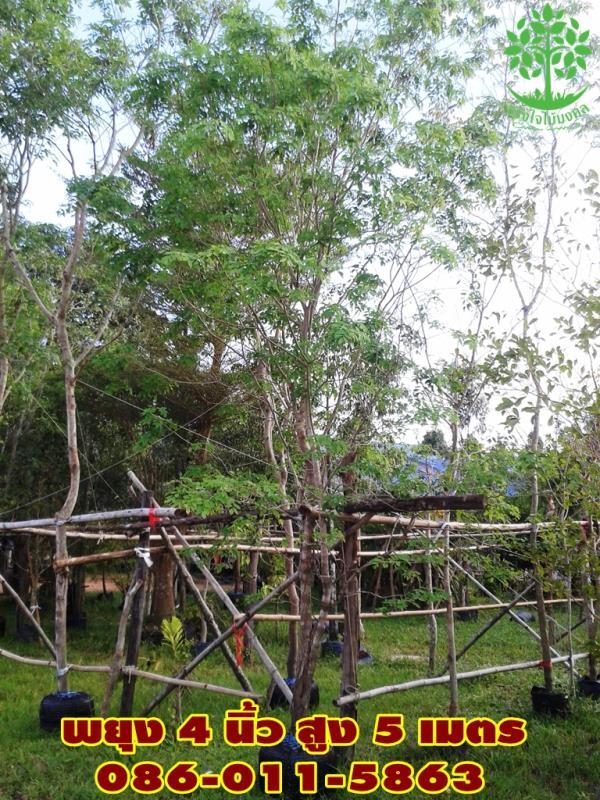 ขายต้นพยุง 4 นิ้ว สูง 5 เมตร