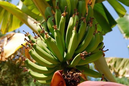 ต้นกล้วย,ต้นกล้วย,ต้นกล้วย
