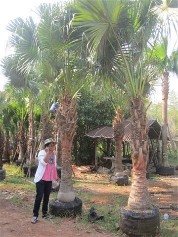 ปาล์มจีน สูงถึงคอ 2-2.5 เมตร