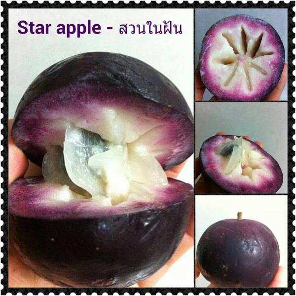 ต้น star apple ไม้ผลน่าปลูก