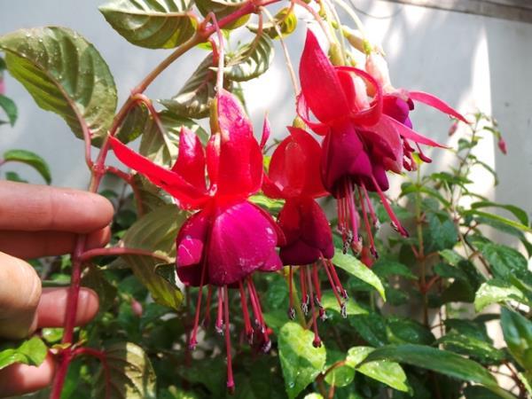 ฟุกเซีย หรือโคมญี่ปุ่นดอกสีม่วง