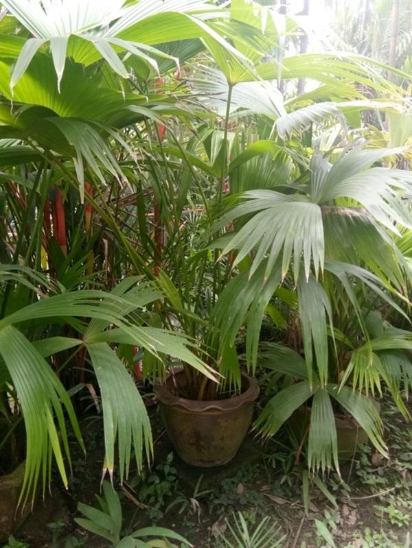 ปานามา แฮท ปาล์ม,Carludovica palmata