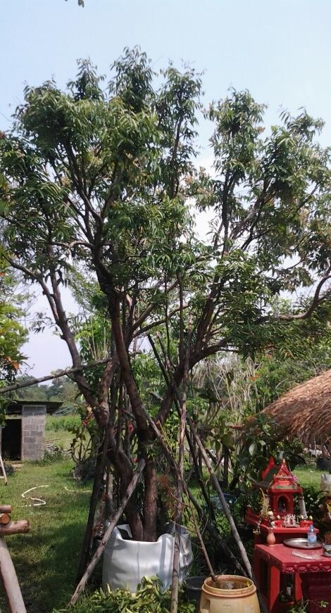 ต้นเสม็ดแดง+เสม็ดขาว