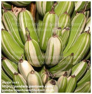 Musa 'Florida variegate'
