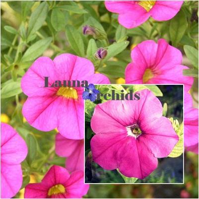 พิทูเนีย,พิทูเนีย, ไม้ดอก, ไม้ดอกเมืองหนาว, pitunia, flower, ไม้ประดับ, เมล็ดพันธุ์,พิทูเนีย
