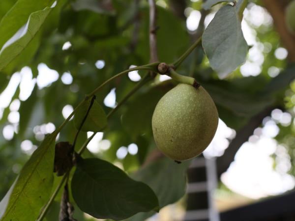 ต้นวอลนัท Walnut tree