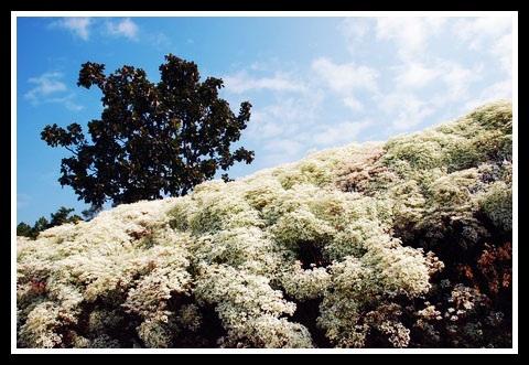ต้น ไวท์ ครีสต์มาส White Christmas
