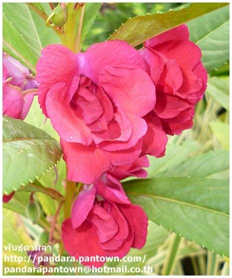 ดอกเทียนไทยดอกซ้อน สีชมพู