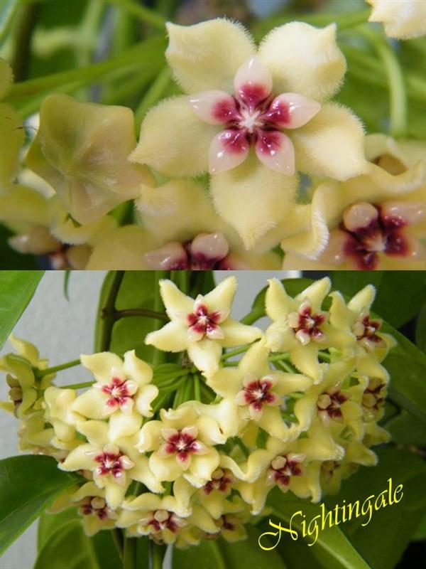 โฮย่า ดอกเหลืองหอม Hoya halconensis