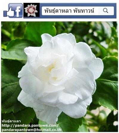ดอกเทียนกุหลาบสีขาว