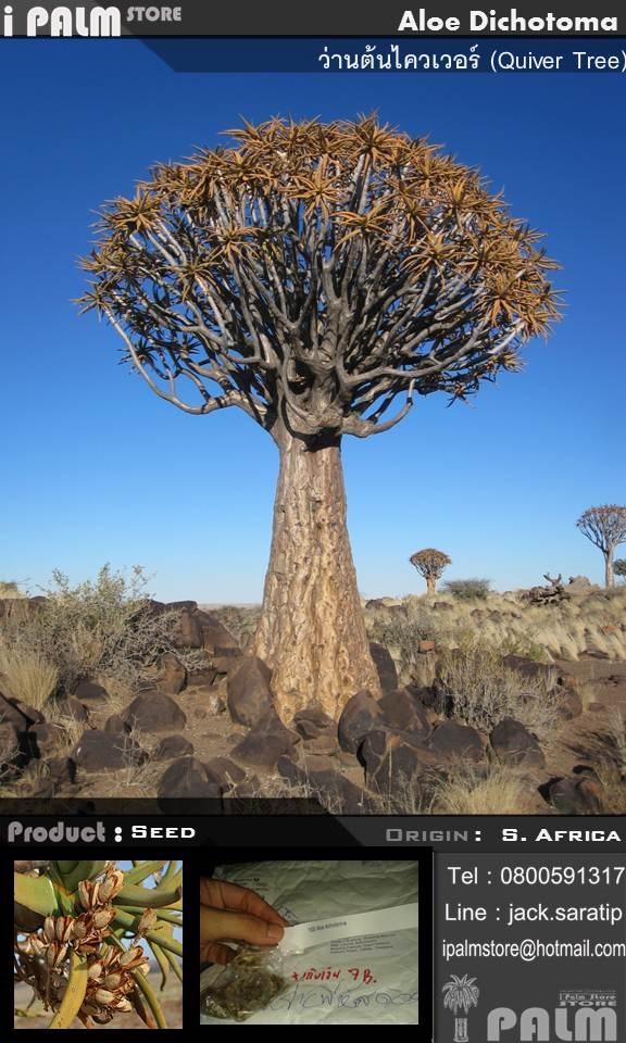 เมล็ดว่านต้นไควเวอร์ (Aloe Dichotoma)