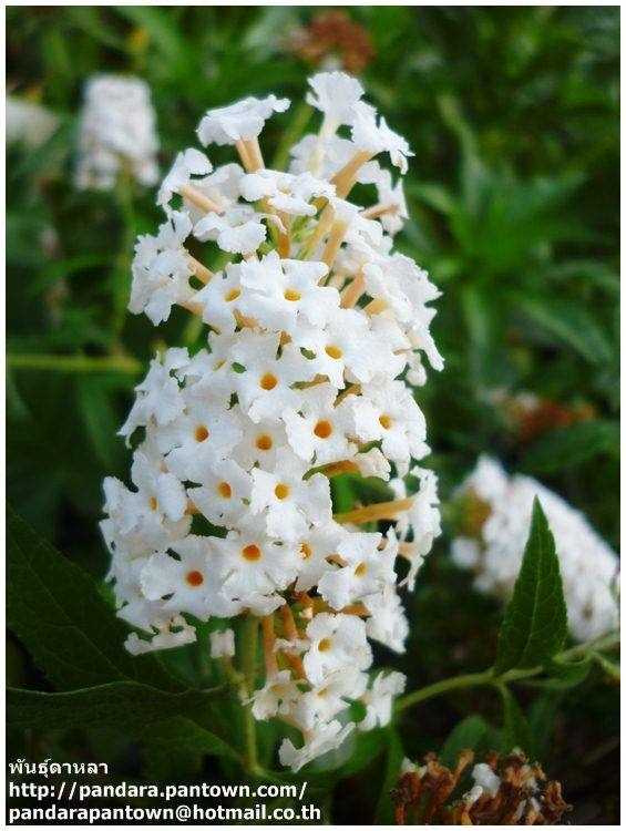 Butterfly bush. White. ดอกหอม