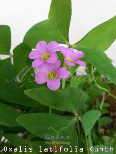 Oxalis latifolia kunth,oxalis,ผีเสื้อราตรี