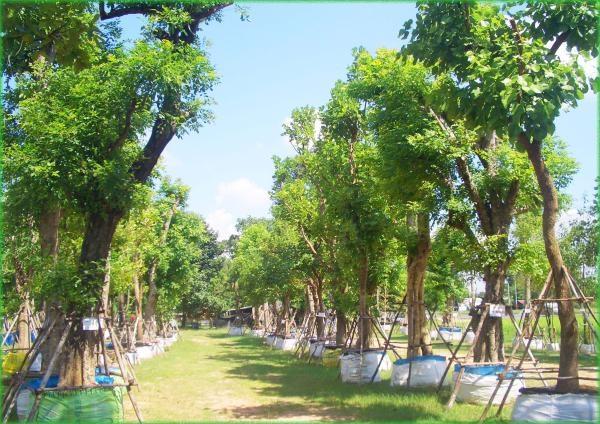 รับปลูกไม้ล้อม  ทุกชนิด ทุกขนาด  รับล้อมต้นไม้ ย้ายไม้