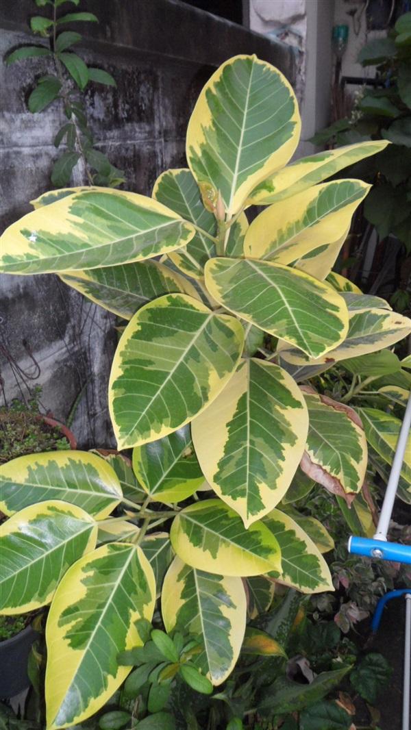ต้นยางอินเดียด่าง