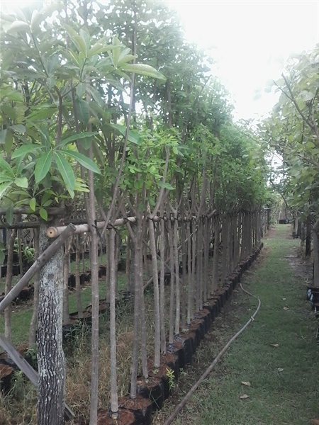 ต้นแคฝรั่ง