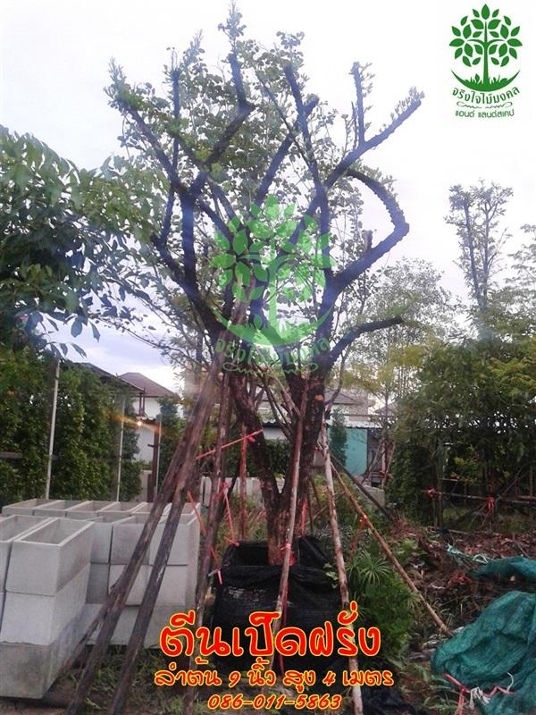 ขายต้นตีนเป็ดฝรั่งลำต้น 9 นิ้ว สูง 4-5 เมตร