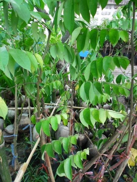 ต้นมะเฟืองหวาน  มะเฟืองเปรี้ยว