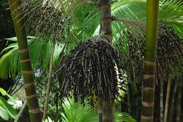 อาไซอิเบอร์รี่ (acai palmberry   )