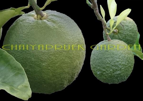 ส้มหลอดดูด/ส้มเช้งออสเตรเลีย,,ส้มเช้ง