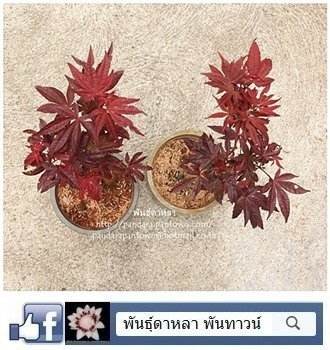 เมเปิ้ลแดงใบสีแดงตลอดทั้งปี